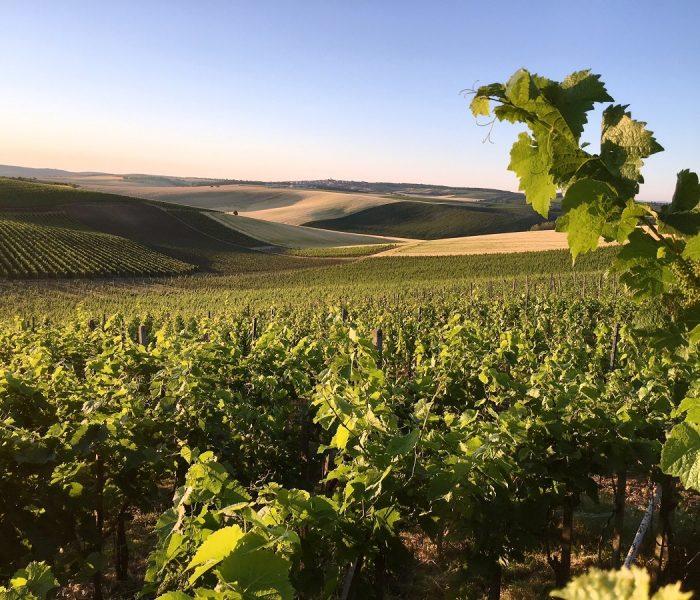 Teplejší počasí dělá radost vinařům, sklízet hrozny by mohli už za 60 dní