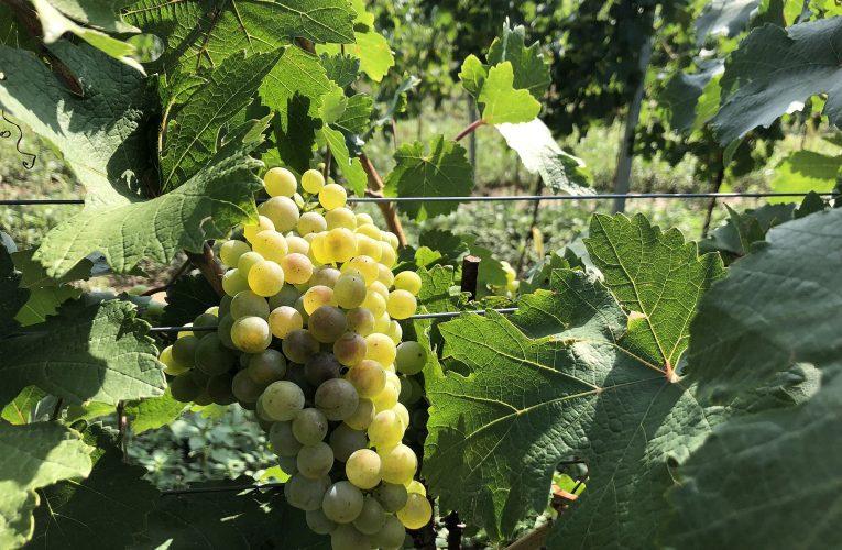 Vinaři uvádějí, že nás čeká nás výborný ročník, ale vína bude méně