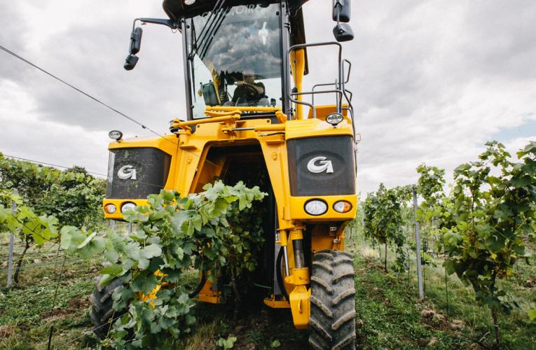 Rok 2019 přinese typická moravská vína a Svatomartinské o 3 dny dříve