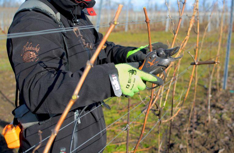 Vinaři se kvůli koronaviru obávají o letošní sklizeň