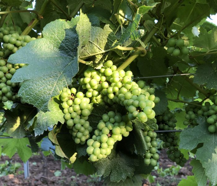 Současné deště úrodu hroznů neohrozily, vinobraní se očekává 10. září