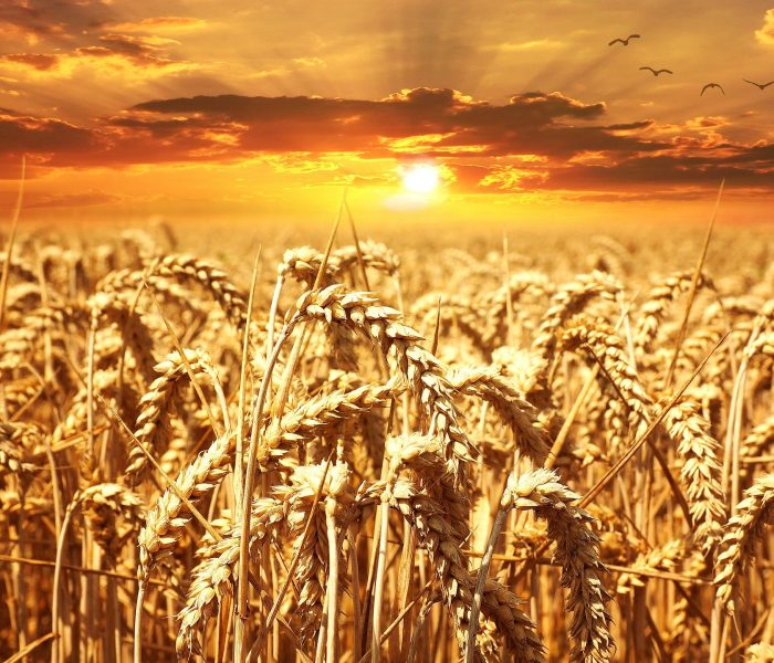 Přibývá českých zemědělců zapojených do Iniciativy Harmony proudržitelné pěstování pšenice