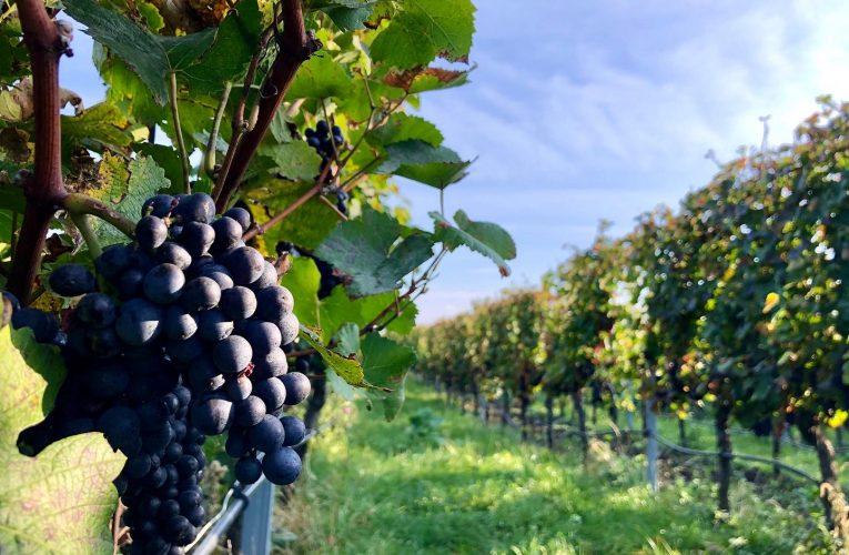 Svatomartinská vína přichází na trh