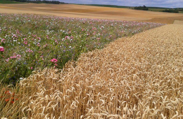 Značka Opavia používá pšenici z udržitelné produkce